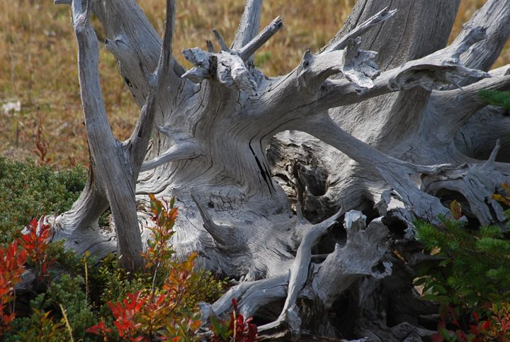 Bleached bones of an Old Tree - Wend Images Gallery