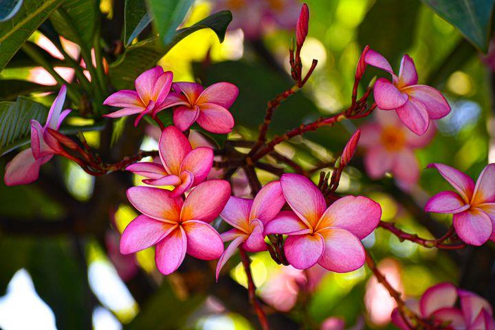 Hawaiian Plumeria - Kari Ann Jamison Photography