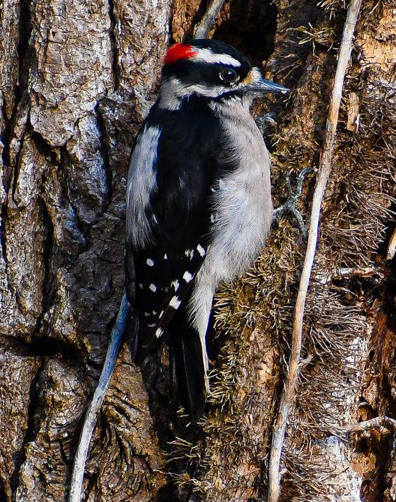 Downy Woodpecker - Kari Ann Jamison Photography