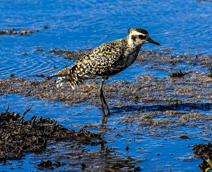 Pacific Golden Plover - Kari Ann Jamison Photography