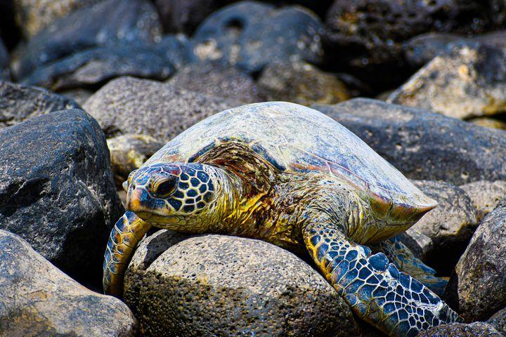 Hawaiian Green Turtle - Kari Ann Jamison Photography