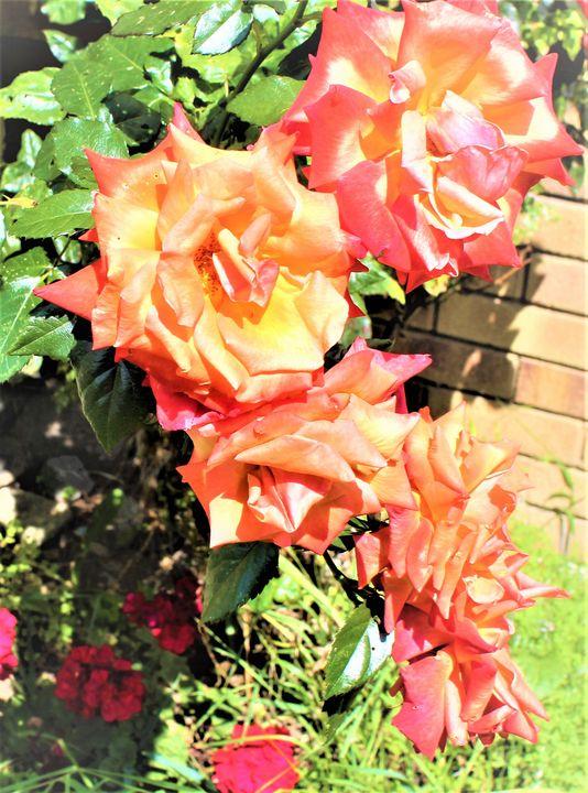 roses... - billys art...