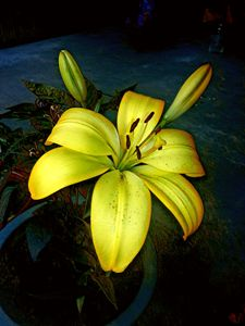 Yellow Day Lily - SAS Collection