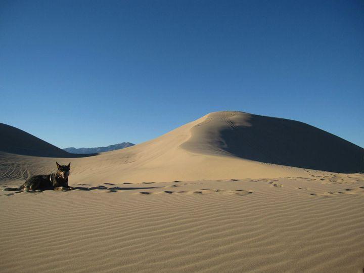 Cattle Dog in the Desert - Tasha Lynn