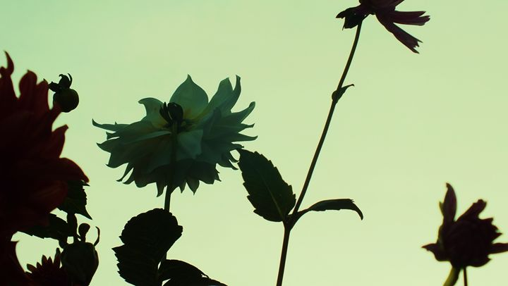 Dahlias at sundown - Photos by Oswin