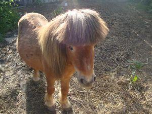 tiny shetland pony