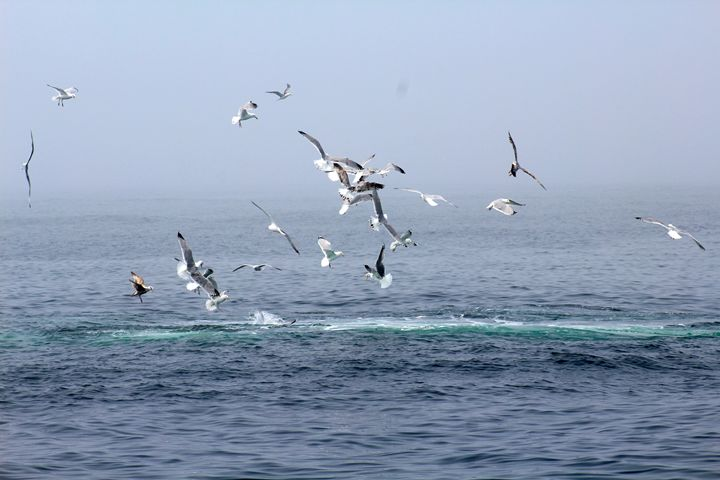 Seagull Dive - iRok Photography