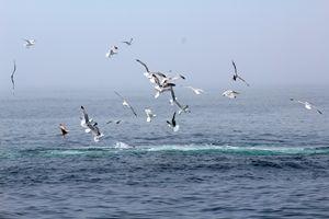 Seagull Dive
