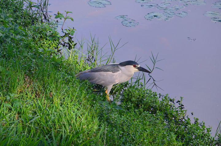Black Heron - Howard's Photography LLC
