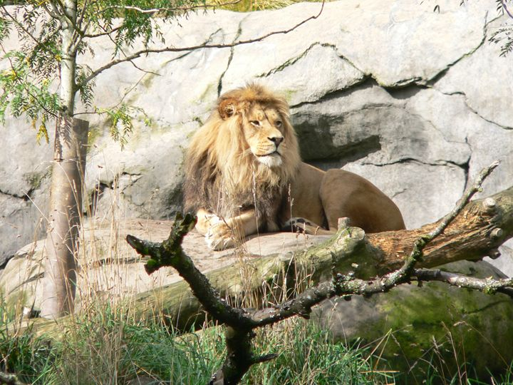 Lion on Guard - Howard's Photography LLC