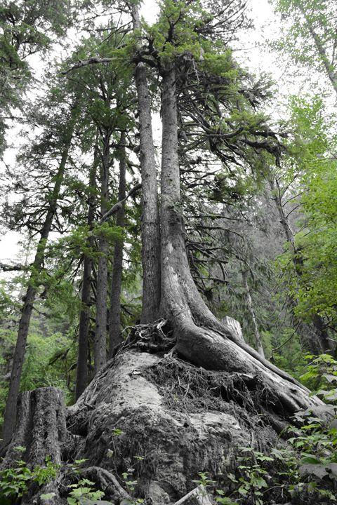 The Boulder Tree In Green - Charlaina Swinney