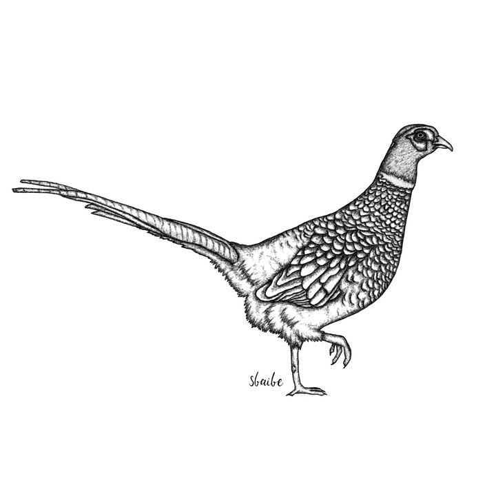 Pheasant - sbaibe