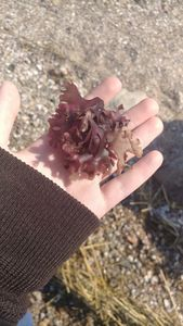 Purple Seaweed in Hand