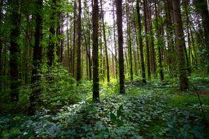 Codurus trees