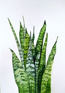 Sansevieria  Mother-in-law tongue