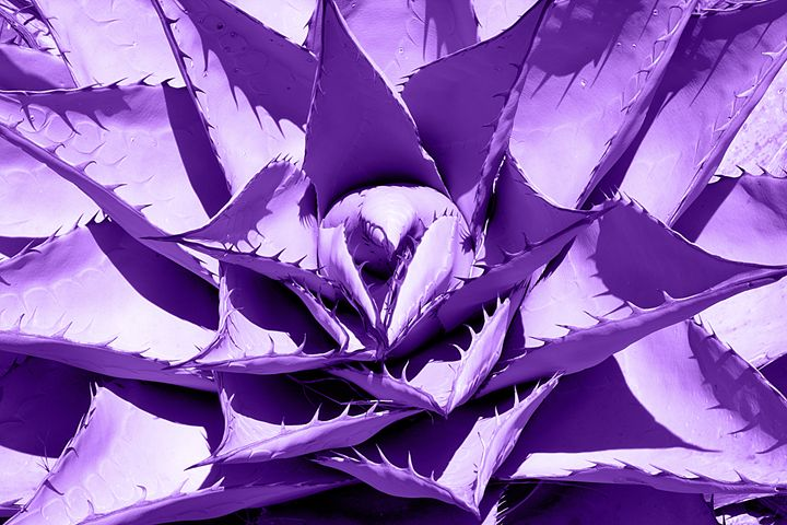Purple Cactus - Landscapes of the American West