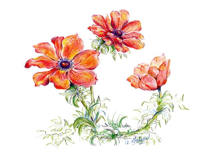Color illustration of Poppies - Shining Light Gallery
