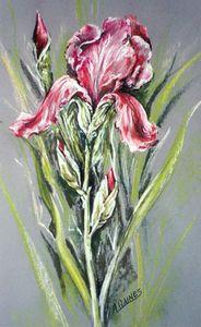 Best of Pink Iris, Pastel