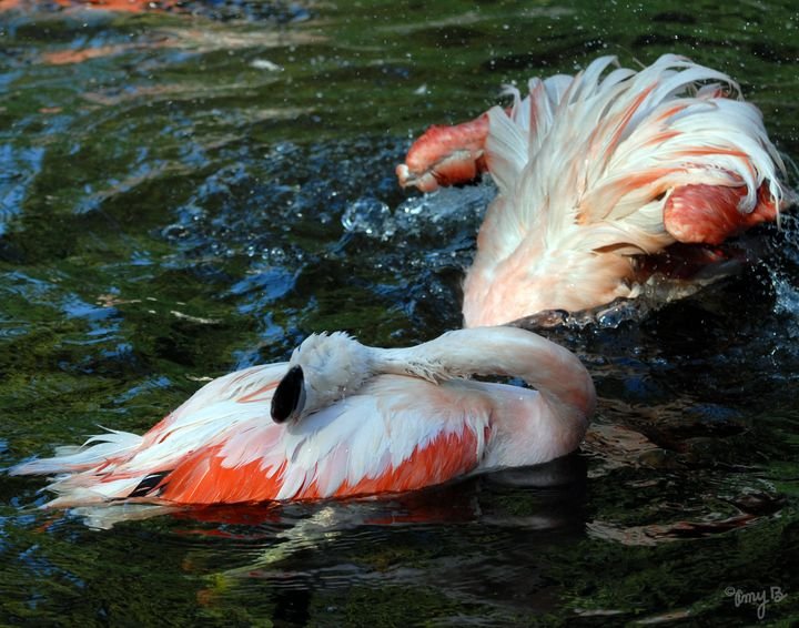 Bathing Flamingos 01 - Amy's Busy Bee Arts