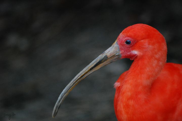 Scarlet Ibis 01 - Amy's Busy Bee Arts