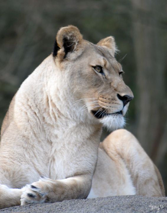 African Lioness 02 - Amy's Busy Bee Arts