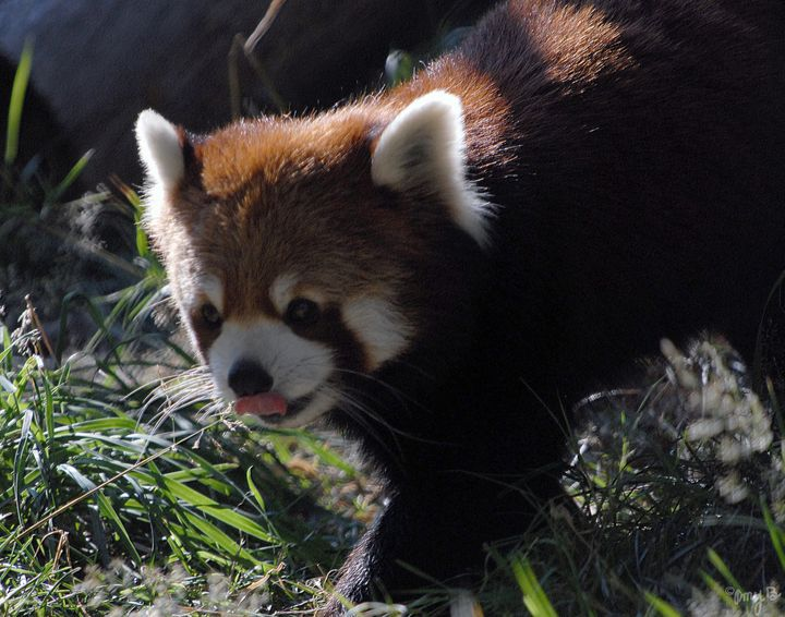 Red Panda 01 - Amy's Busy Bee Arts