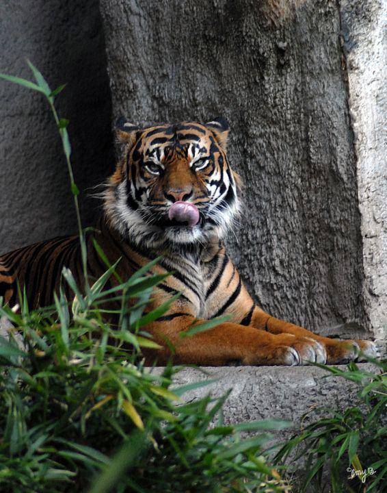Sumatran Tiger 03 - Amy's Busy Bee Arts