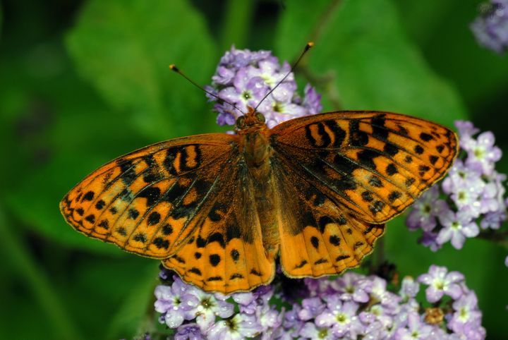 Fritillary Butterfly 01 - Amy's Busy Bee Arts