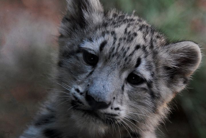 Snow Leopard Cub 01 - Amy's Busy Bee Arts