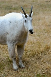 Rocky Mountain Goat 05