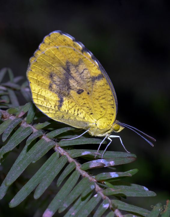 Cloudless Sulpher Butterfly - Amy's Busy Bee Arts