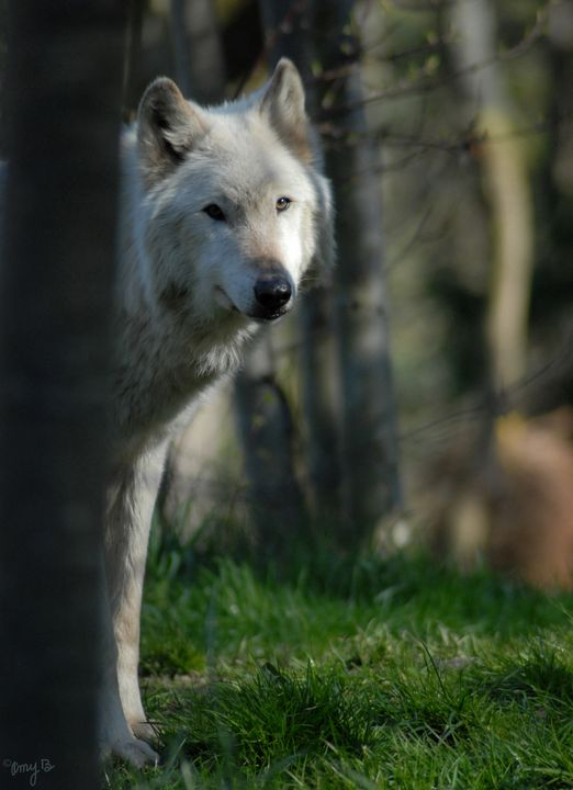 Gray/Grey Wolf Profile - Amy's Busy Bee Arts