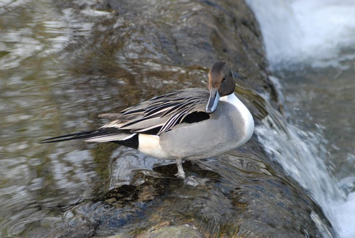 Northern Pintail Duck - Amy's Busy Bee Arts