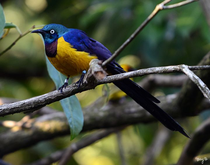 Hildebrandt's Starling 01 - Amy's Busy Bee Arts