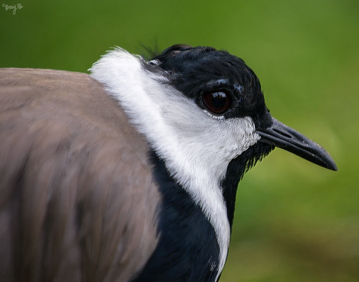 Lapwing 04 - Amy's Busy Bee Arts