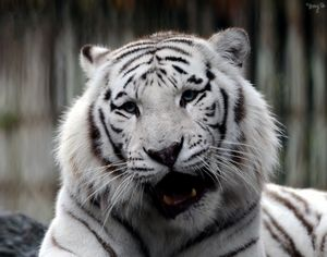 White Bengal Tiger 11