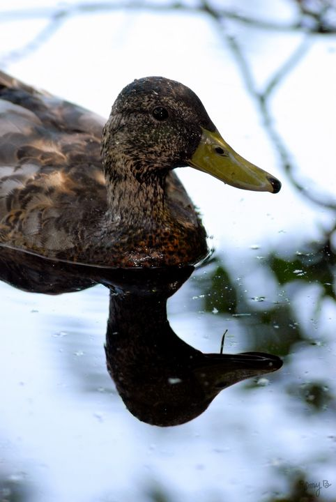 American Black Duck 05 - Amy's Busy Bee Arts