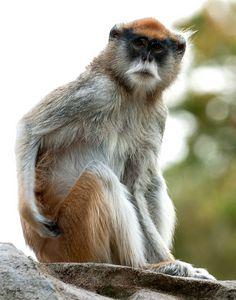 Patas Monkey 91