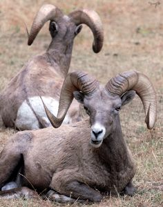 Big Horn Sheep 01