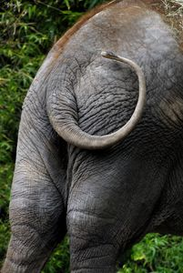 Elephant Booty 01