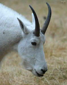 Rocky Mountain Goat 03