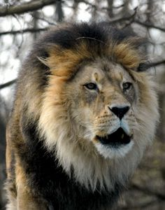 African Lion 07