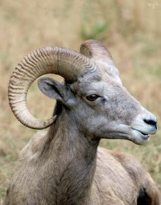 Big Horn Sheep 02