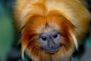 Golden Lion Tamarin 03