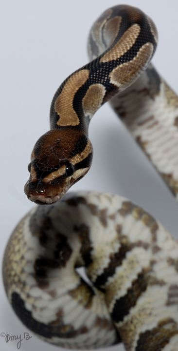 Ball Python Snake 01 - Amy's Busy Bee Arts
