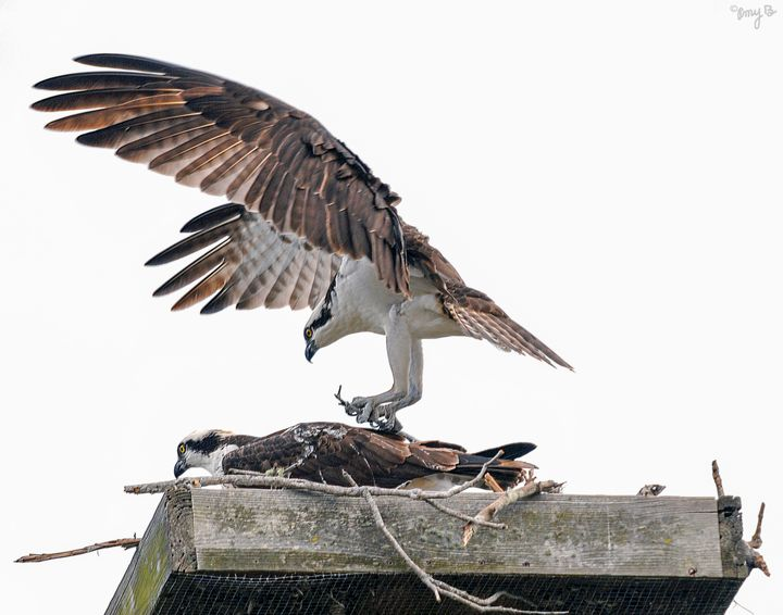 Osprey Nesting Pair 09 - Amy's Busy Bee Arts