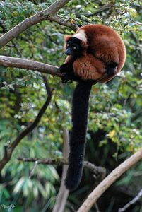 Red Ruffed Lemur 01