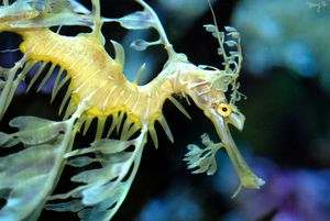 Leafy Sea Dragon 02 - Amy's Busy Bee Arts