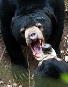 Asian Sun Bear 04