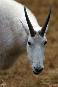 Rocky Mountain Goat 04